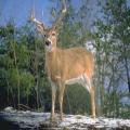 HD Deer and Predator Calls