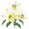 Flower White Lilies Sticker