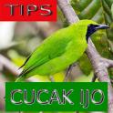 Tips Perawatan Cucak Ijo