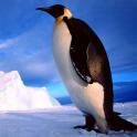 Penguins Jigsaw Puzzles