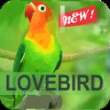Kicau Master Lovebird Juara