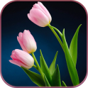 HD Pink Tulips Live Wallpaper