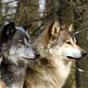 Lwp 늑대