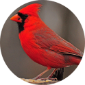 कार्डिनल पक्षी ध्वनियों