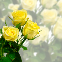 Rose Blume Live-Wallpaper