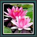 Live Wallpapers – Lotus
