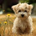 Poodle Dog HD Wallpaper
