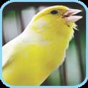 Masteran Kicau Burung Kenari