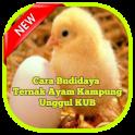 Cara Ternak Ayam Kampung Unggul KUB