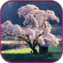 HD Sakura Live Wallpaper