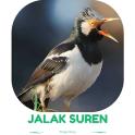 Master Kicau Jalak Suren Gacor