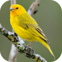 Song of Canaries