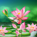 Lotus Live Wallpaper