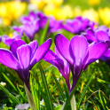 Beautiful Spring Flowers Live Wallpaper