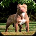 Pitbull Dog Wallpaper HD