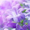 Lilac Flowers Live Wallpaper