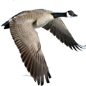 Waterfowl Call