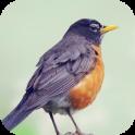 Robin Bird Sounds