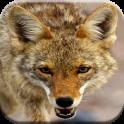 Appels de chasse Coyote