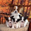 Different Breeds Dogs HD Theme