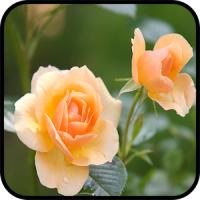 HD Fresh Flowers