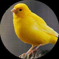 カナリア鳥の音
