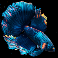 Betta Fish Live Wallpaper FREE