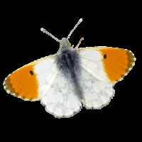 Butterflies of Israel